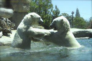 Polar bears playing together